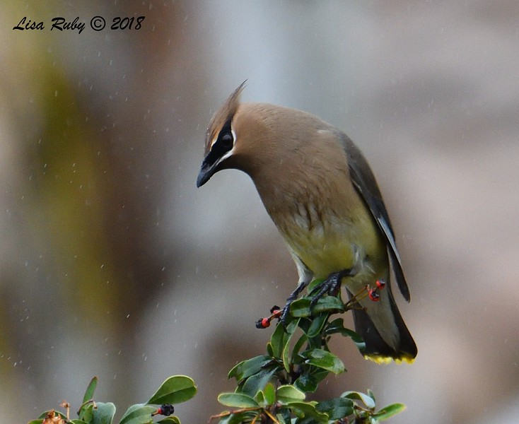 Cedar Waxwing in the rain - 01/17/2019  - Backyard Sabre Springs