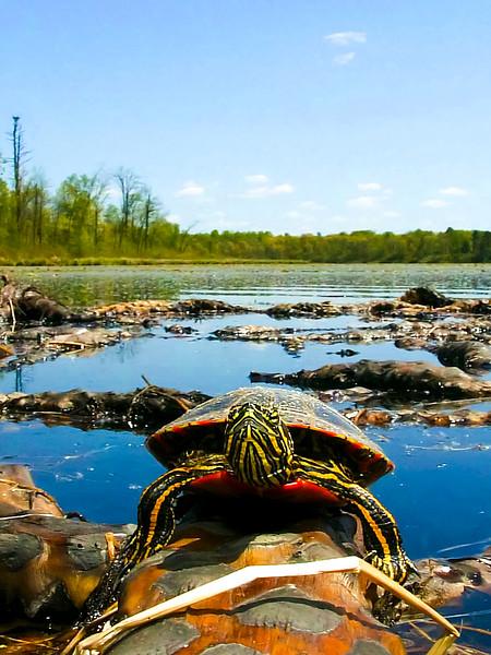 Turtle Landscape_24x32.jpg