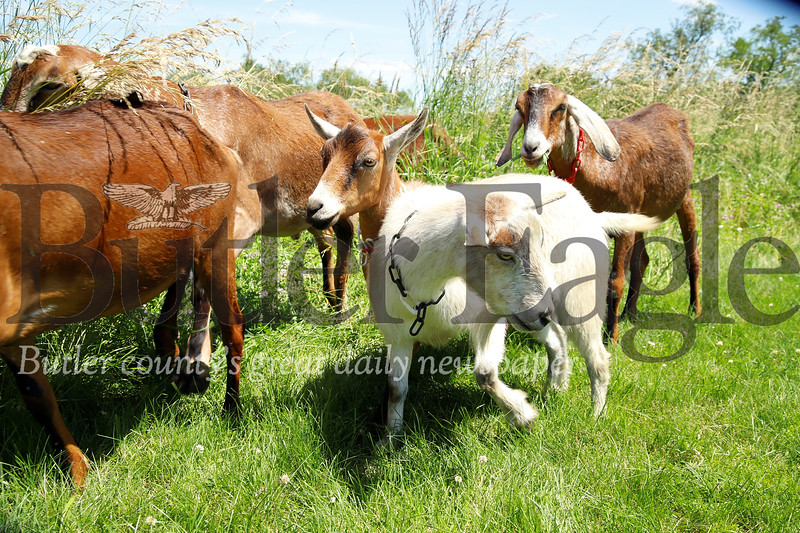 Goats from Allegheny GoatScape explore their new assignment.The herd will be in  North Boundary Park in Cranberry the next couple of weeks grazing on a section of overgown grass and weeds. (Seb Foltz/Butler Eagle)