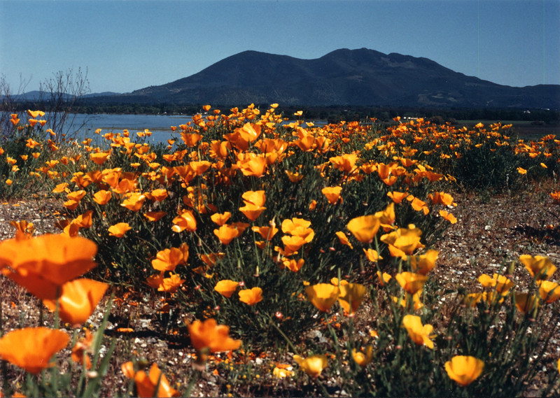 Calif Poppy w-Mt.Konocti.jpg