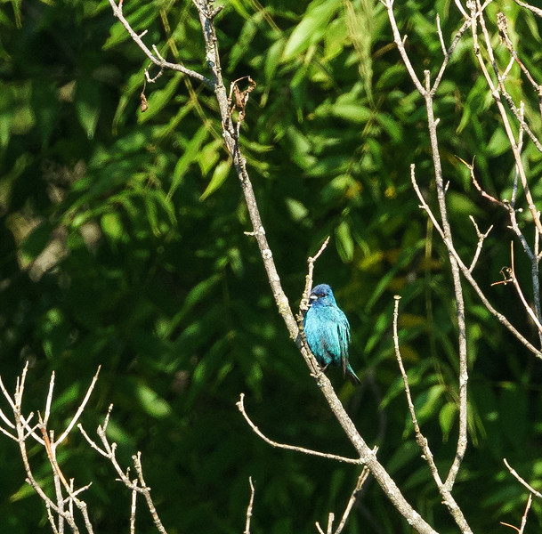 Indego Bunting at Baker Woods Preserve