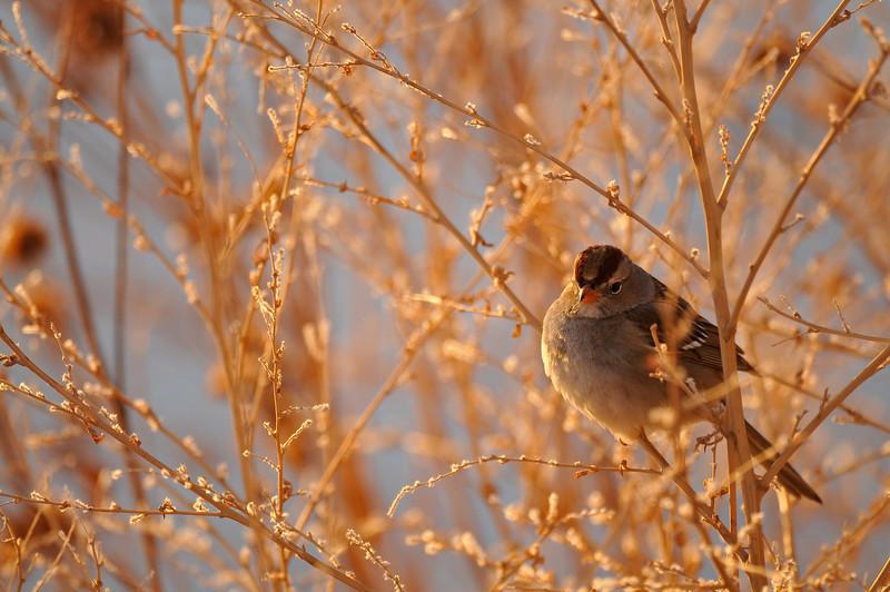 Sparrow, Bosque del Apache