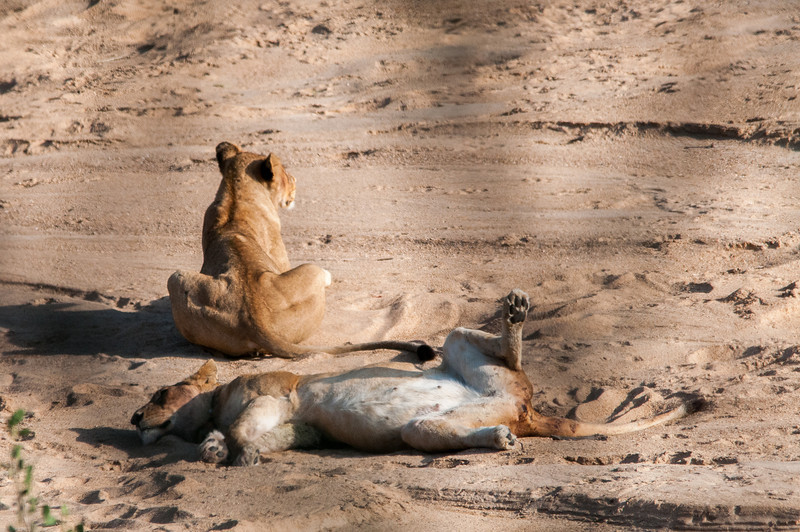 Baby lions in Kruger National Park