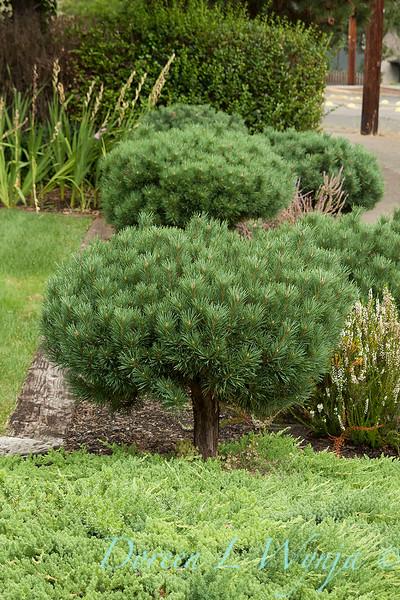 Pinus mugo_025.jpg