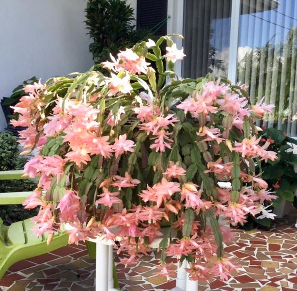 12_25_18 Christmas Cactus.jpg