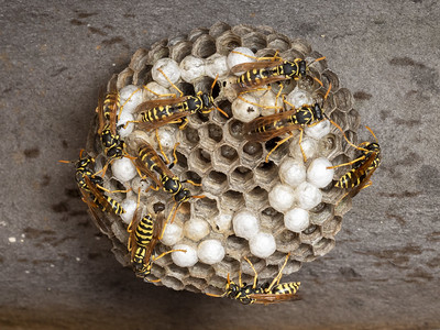 Hnízdo vosíka