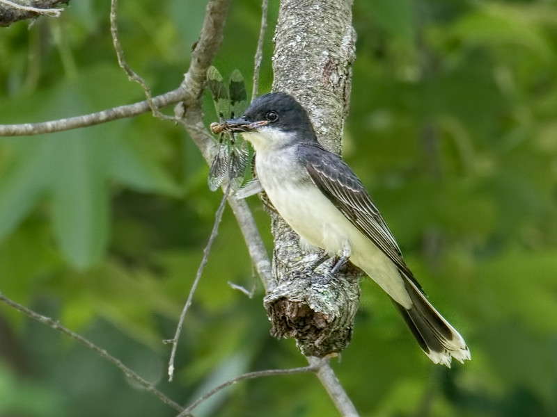Teneral being eaten by Eastern Kingbird