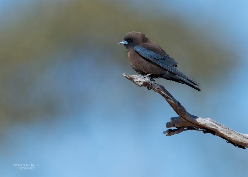 Little Woodswallow, Bowra, Cunnamulla, QLD, Aus, Sept 2017-2.jpg