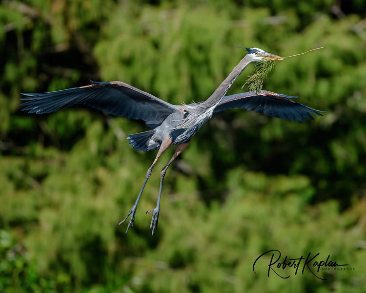 Great Blue Heron-0087.jpg