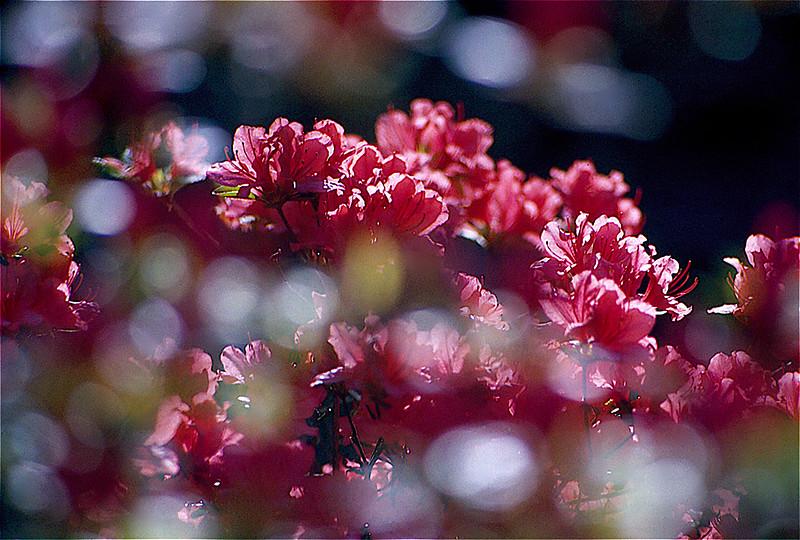 Light and pink Azalea