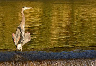 Mill Creek Birds, 9-21-15