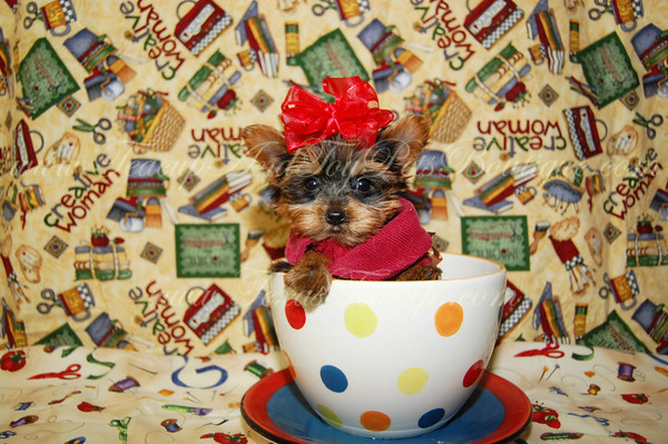 DONATED TO CHILDRENS CHORUS OF GREATER DALLAS Morkie Puppy # 2295 -Joseph A.-