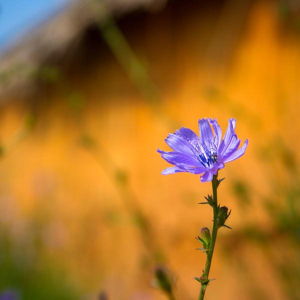 Purple Flower sq-7372.jpg