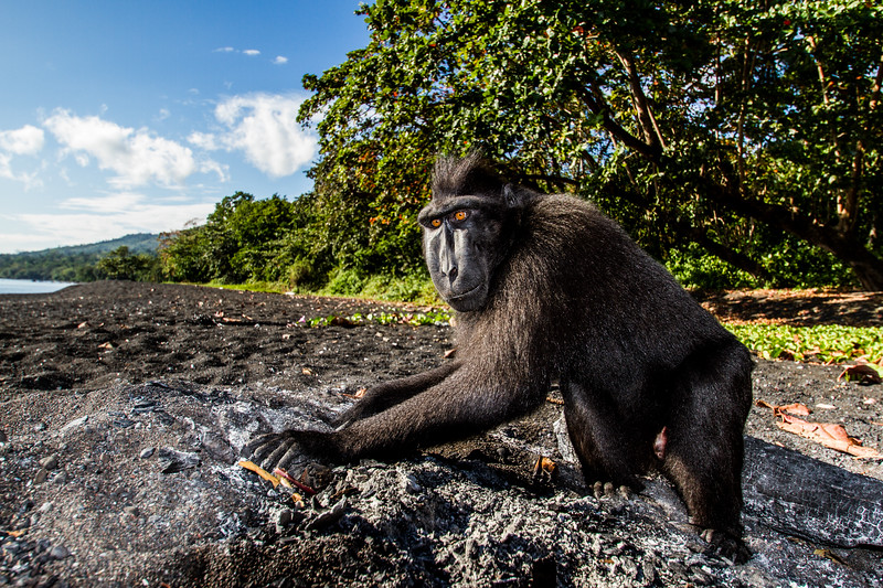 I was filming a group of black macaques for #BBCEarth in Tangkoko, Sulawesi. This male broke away from the rest of the group and went to investigate an old fire pit. He dug around and pulled out a lump of charcoal which he started to chew. This behaviour has been documented in other species as a form of self medication to help neutralise plant toxins. To me this shot captures the inquisitive nature of these critically endangered monkeys. #Endangered #Monkey #Sulawesi #BBC #EarthOnLocation #Wildlife