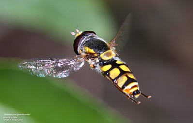 Hover flies (Syrphidae)