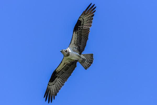 7-26-17 Osprey #2