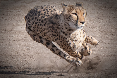 2018 Animal-Ark-Cougar-Races