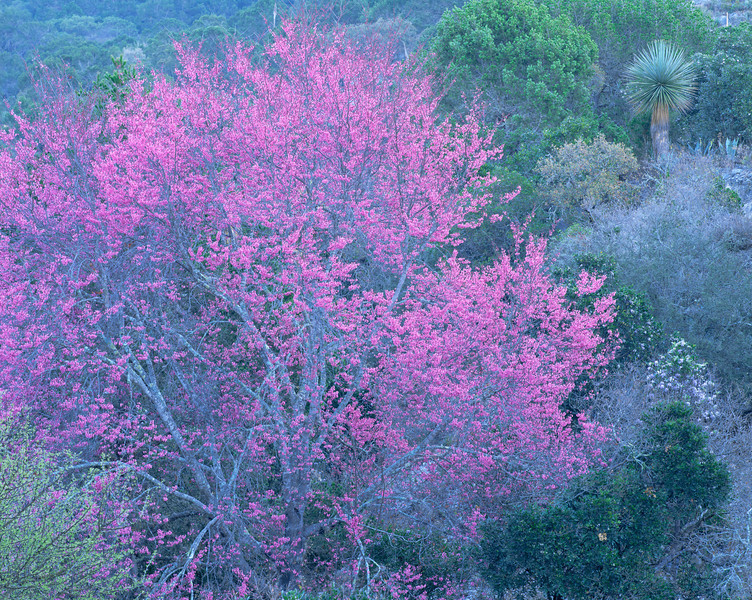 Tamaulipas, Mexico / Miquihuana, Chihuahuan Desert, Flowering redbud Cercus sp. in heavily vegetated arroyo in north-facing hillside. 0204H4