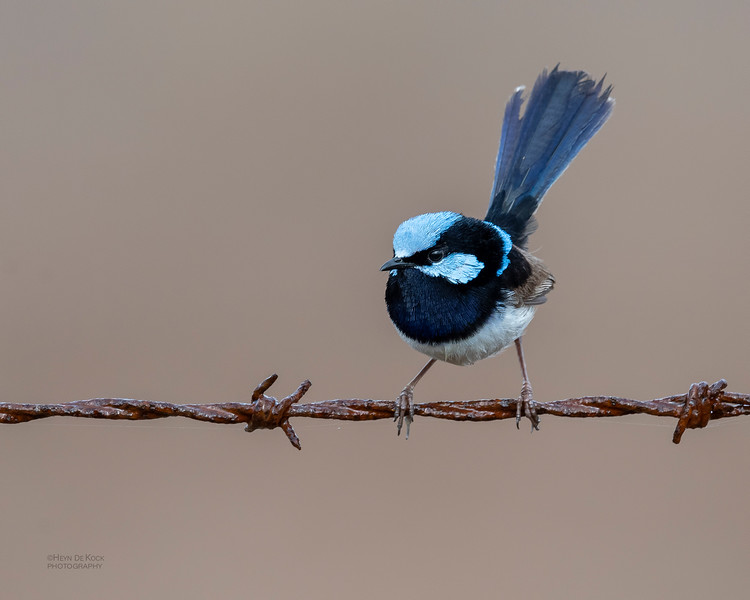 Superb Fairywren, Lockyer Valley, QLD, Oct 2018-2.jpg