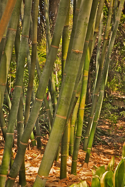 Giant Timber Bamboo (Bambusa oldhamii), at the Jacksonville Zoo and Gardens.