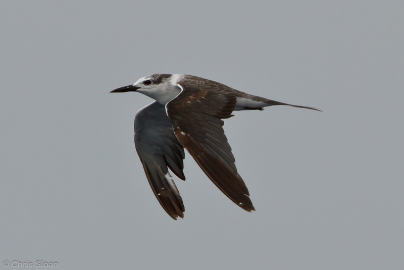 Bridled Tern first cycle at pelagic trip off Hatteras, NC (06-05-2011) - 329.jpg