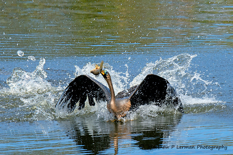 Anhinga struggling to keep its catch from an aggressive Cormorant