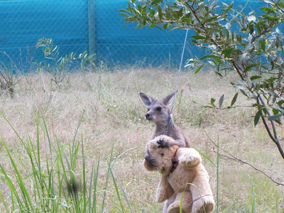 Kangaroo's