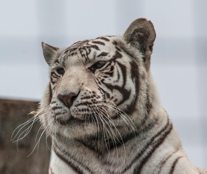 White Tiger (Narnia)