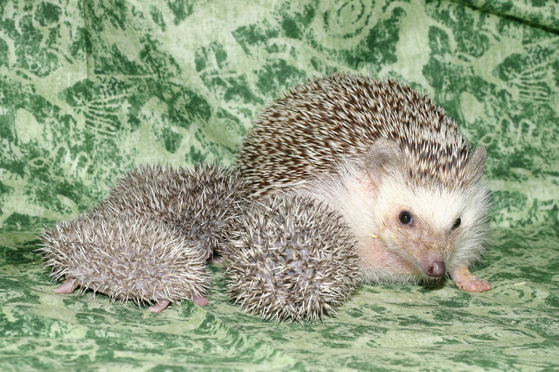Litter - Roy and Pascal (05/06/2005)  Pascal Babies  Filename reference: 20050524-215048-HAH-Hedgehog_Babies