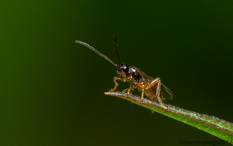 Parasitoid wasp, possibly Braconidae, from Iowa.