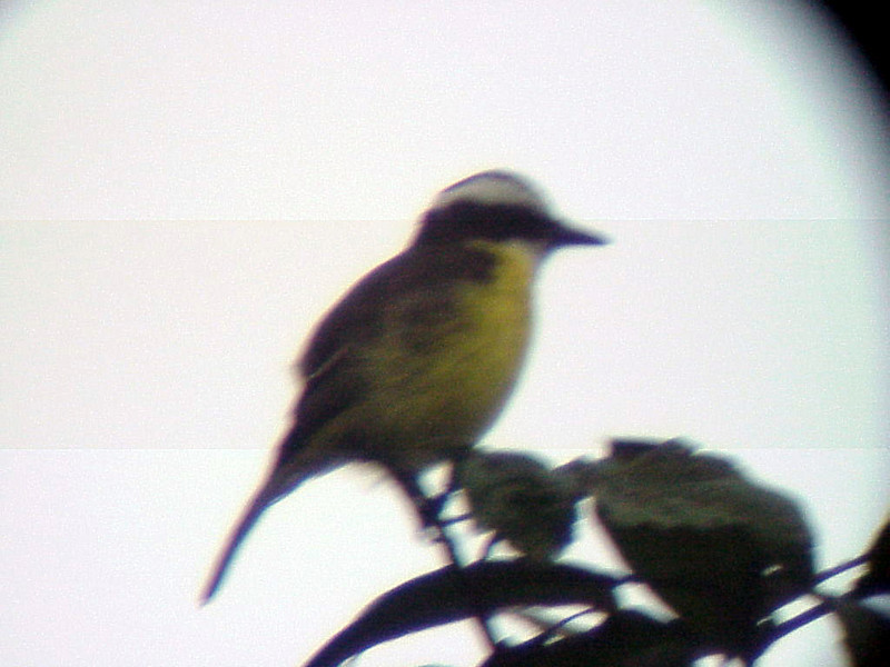 White-ringed Flycatcher at La Selva Costa Rica 2-11-03 (50898383)