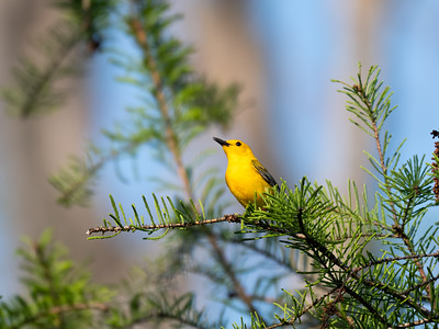 Prothonotary Warblers, 2021