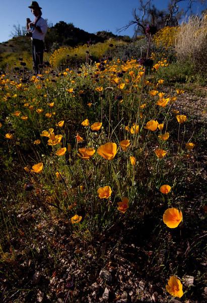 Bartlett Reservoir - Tonto National Forest - Wildflowers-43.jpg