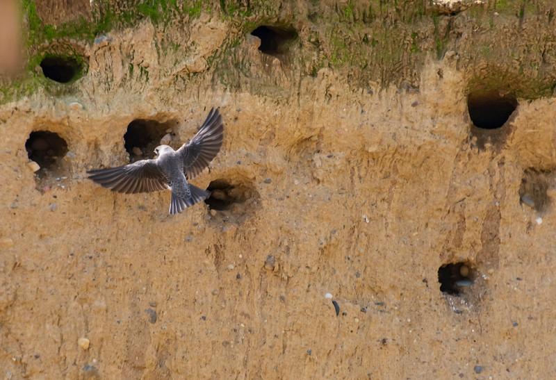 Sand-martin-Riparia-riparia-Bank-swallows-SpringfieldOH.jpg