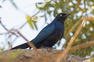 Rüppell's Long-tailed Starling