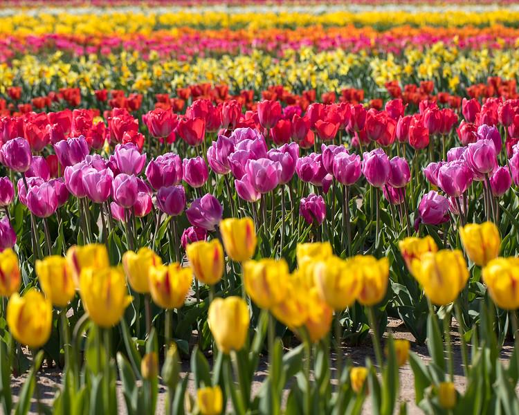 field of tulips