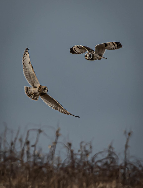 Short-eared Owl pair