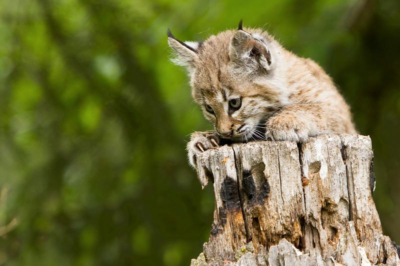 This young bobcat kitten has been captivated by something!
