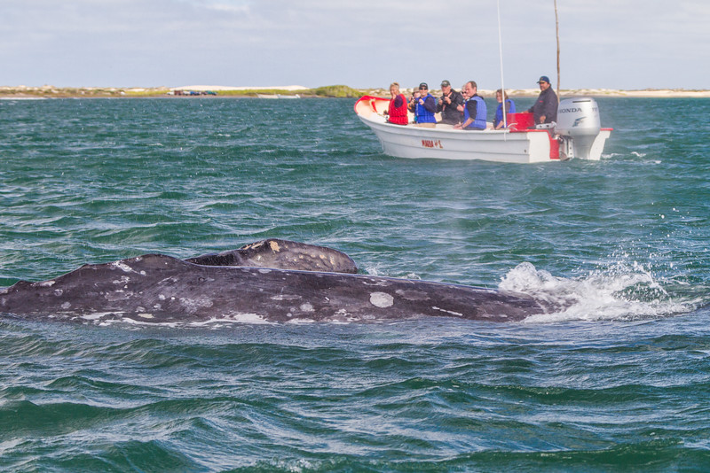 Tourists watching whale swimming in sea - Mexico