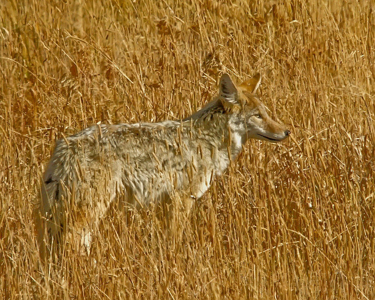 Coyote, Soda Butte, Yellowstone 2.jpg