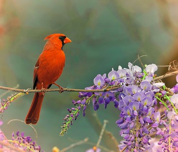 Cardinals / Finches