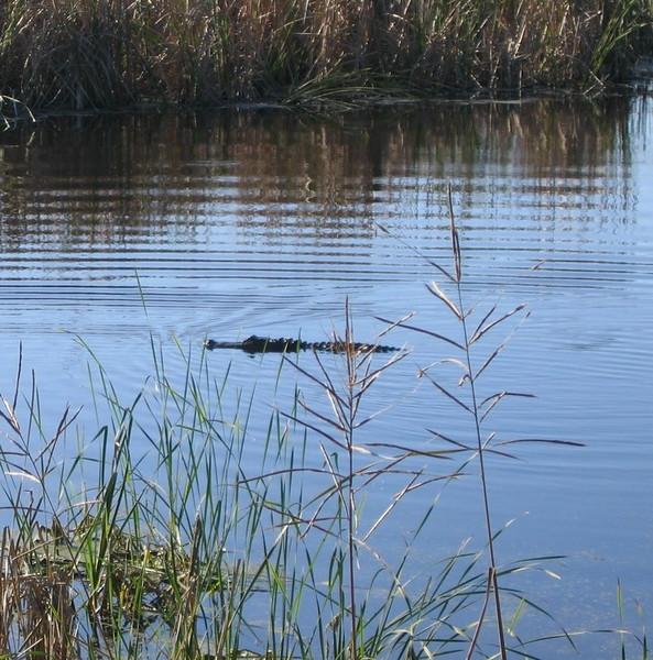alligators at middleton