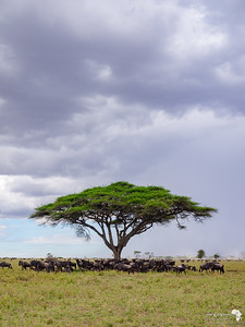 Wildebeest Congregate under an Acacia Tree