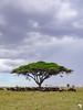 Wildebeest Congregate under an Acacia Tree