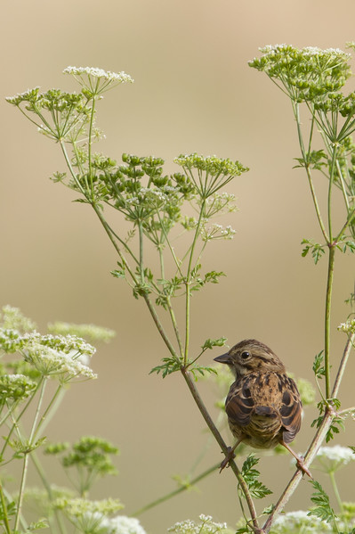 Song Sparrow - Salinas, CA, USA