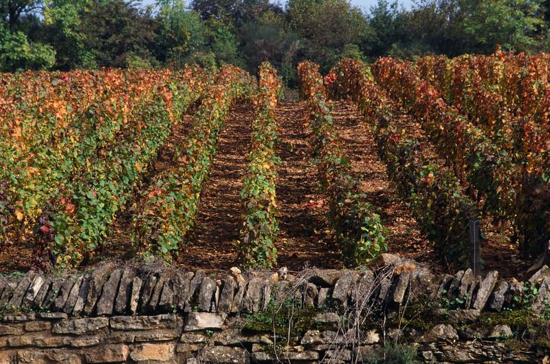 Burgundy Vineyard in Fall