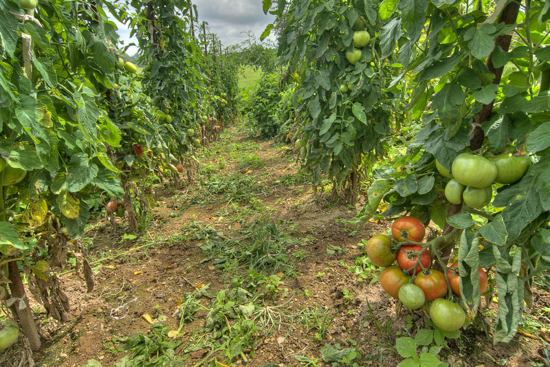 Although owner Paul Hrie is proud of his wine, he is also proud of the large tomatoes he grows in his nearby vegetable garden at West Wind Farms in Ft. Chiswell, VA on Thursday, August 8, 2013. Copyright 2013 Jason Barnette