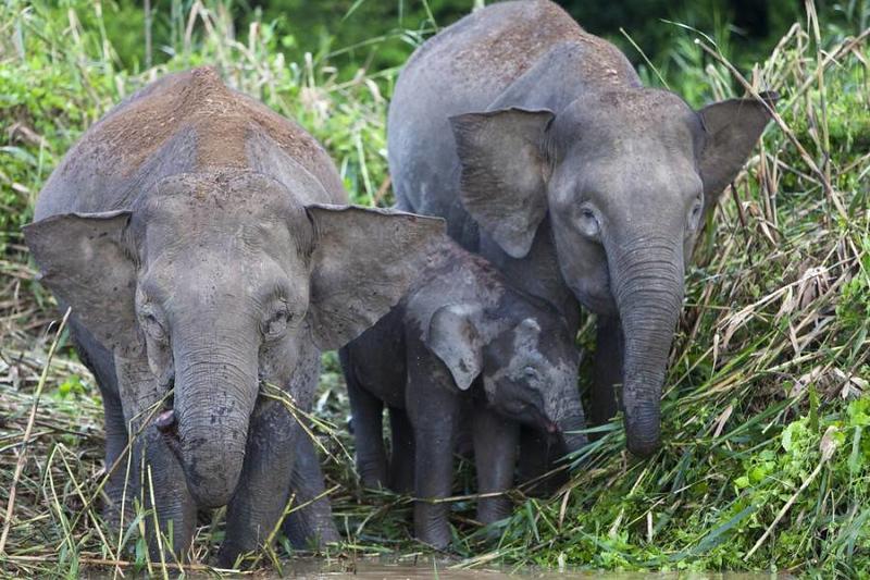 pygmy-elephant-family.jpg