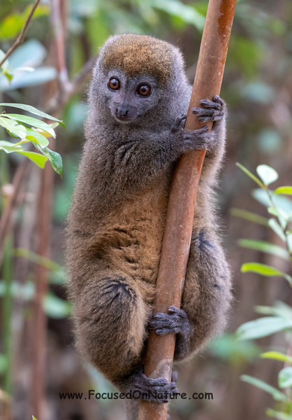 Eastern Lesser Bamboo Lemur (Rescued)