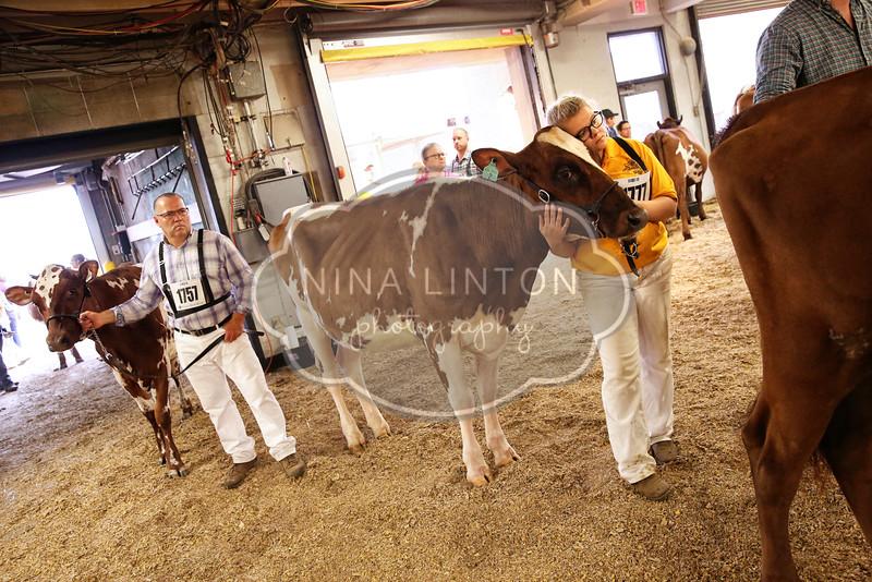 World Dairy Expo Ayrshire Show 2016